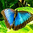 Blue Morpho Aruba by Amy Hochman