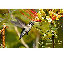 Hummingbird Dining Photographic Print
