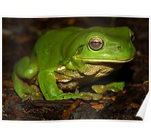 Green tree frog South East Queensland Poster