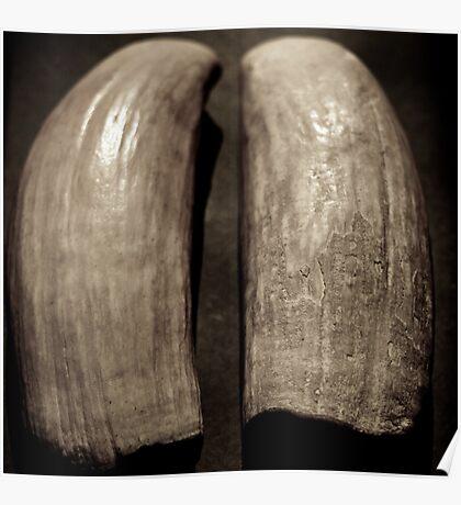 Sperm whale teeth Fiji origin relic Poster