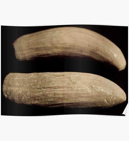 Sperm whale teeth Fiji origin relic ivory Poster