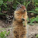 Columbian Ground Squirrel by Teresa Zieba