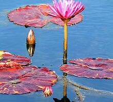 Reflections in Pink by Rosalie Scanlon