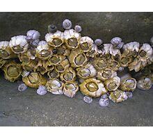 barnacles Photographic Print