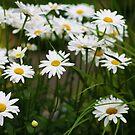 Daisy by Kelli Dubay