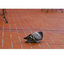 Fat Pigeon Photographic Print