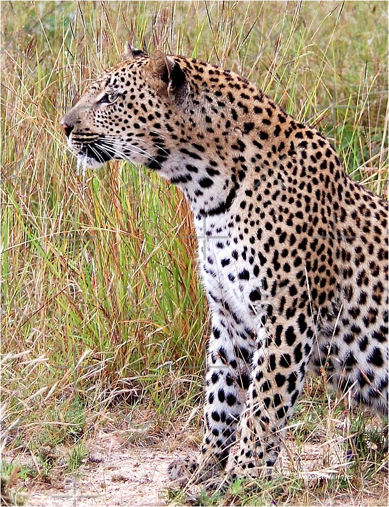 PERFECT CREATION - THE LEOPARD - Panthera pardus by Magriet Meintjes
