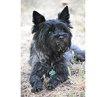Cairn Terrier Photographic Print