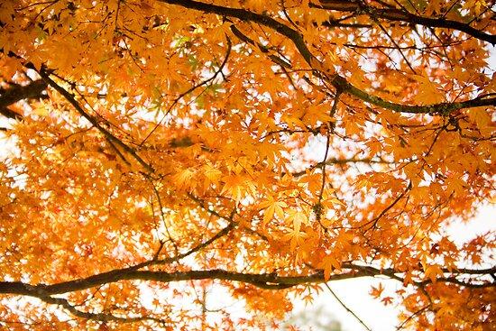 Orange Leaves at Mount Dandenong by Elana Bailey