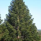 A Majestic Bunya Pine by pinetrees