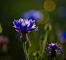Cornflowers by Ulla Jensen