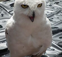 Snowy Owl by Stephen Willmer