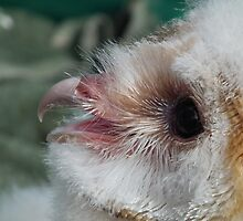 Baby Snowy Owl by Stephen Willmer