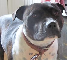Headshot of a Staffordshire Bull Terrier by RachelH