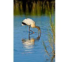 Wood Stork in Golden Light Photographic Print