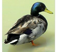 Mallard by ©The Creative  Minds