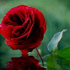 one red rose by Joyce Knorz