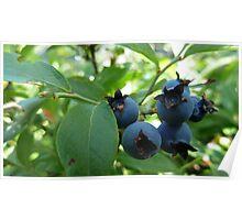 Blue Berries of Buck Mtn. Poster