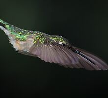 Dive Bomber by photodug