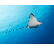 Baby Eagle Ray Photographic Print