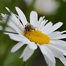 Daisies are Delicious...! by Carol Clifford