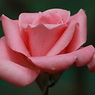 Rose rose by Indrani Ghose