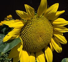 Sunflower Face by Jane Jenkins