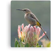 Sugarbird on Protea Canvas Print