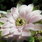 Gymnocalycium mihanovichii in full bloom by Linda Gleisser