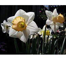 Yellow & white trumpet daffodils Photographic Print