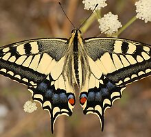 Papilio machaon by César Torres
