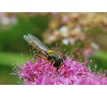 Hoverfly in the Pink. Photographic Print