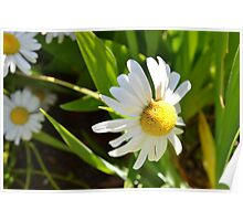 Spring Daisies Poster