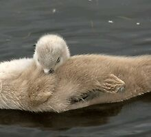 floating baby swan. by sandyprints