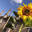 Sunflower - Vicars Close - Wells by RedSteve