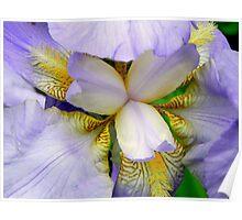 A beautiful Iris © Poster