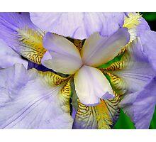 A beautiful Iris © Photographic Print