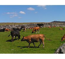 Grazing Dales Beasts Photographic Print