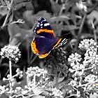 Red Admiral (Vanessa atalanta) by larry flewers