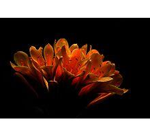 Kaffir Lily Photographic Print