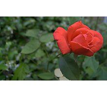 rose bud after rain 3 Photographic Print