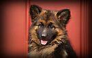 Queena - German Shepherd Puppy by Sandy Keeton