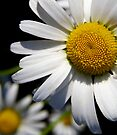 Wonderful Daisy by Rhonda Blais