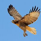 0709111 Red Tailed Hawk by Marvin Collins