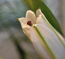 White Lily by Karen E Camilleri