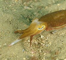 Hunting Mourning Cuttlefish - Sepia plangon by Andrew Trevor-Jones