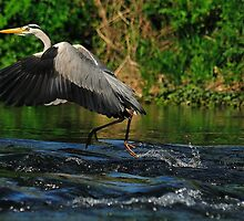 Dancing On Water - grey Heron by delros