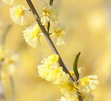 Acacia flexifolia by Linda Lees