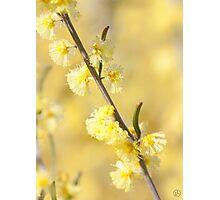 Acacia flexifolia Photographic Print