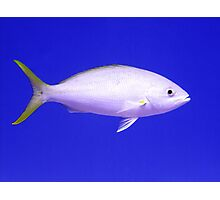 Yellow Tailed Snapper From Side Photographic Print